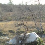 2011_Sleeping reindeer