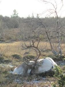 2011_Sleeping reindeer