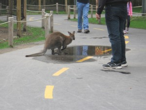 Wallaby_people2