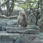 Macaque1