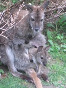 Wallaby2